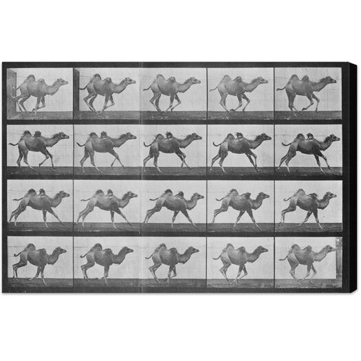 Camels in Motion Photographic Print on Wrapped Canvas
