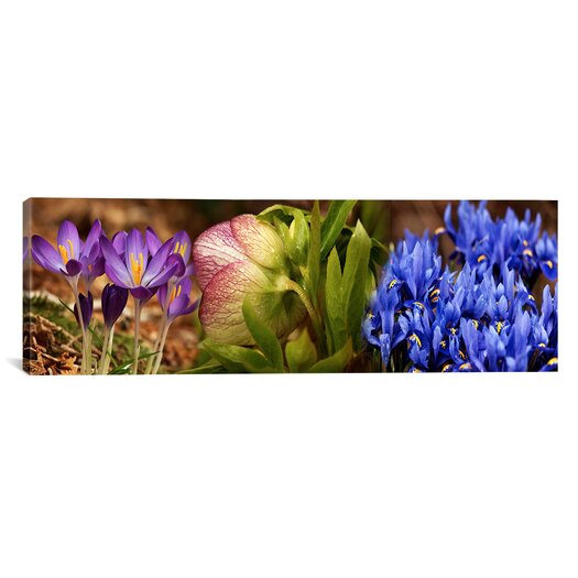 iCanvas Panoramic Details of Crocus Flowers Photographic Print on Canvas