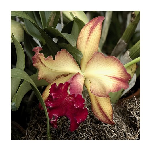 """iCanvasArt """"Silky Red Orchid - Flowers"""" Canvas Wall Art by Harold Silverman"""
