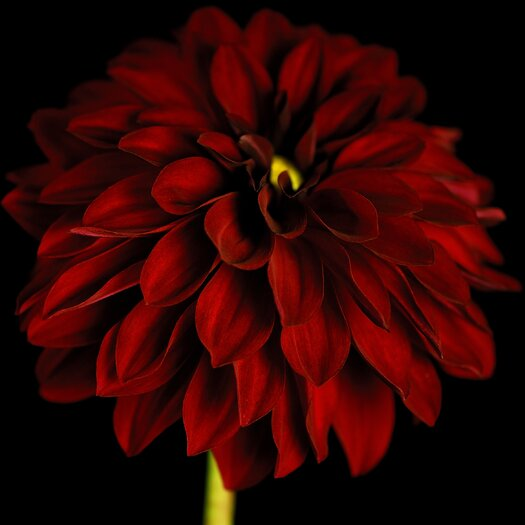 Graham & Brown Graham and Brown Dahlia Photographic Print on Canvas