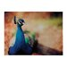 <strong>Peacock Photographic Print on Canvas</strong> by Sterling Industries