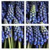Trademark Global Grape Hyacinth by Aiana 4 Piece Photographic Print on Canvas Set