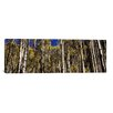 iCanvas Panoramic Aspen Trees in Autumn, Colorado, USA Photographic Print on Canvas