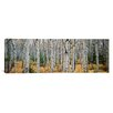 iCanvas Panoramic Aspen Trees in a Forest, Alberta, Canada Photographic Print on Canvas