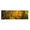 iCanvasArt Panoramic Aspen Trees in a Forest, Californian Sierra Nevada, California, USA Photographic Print on Canvas