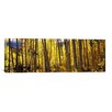 iCanvas Panoramic Aspen Trees Photographic Print on Canvas