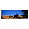 iCanvasArt Panoramic Five Mule Deer in a Field, Montana Photographic Print on Canvas
