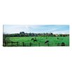 iCanvasArt Panoramic Cows in Arundel, Sussex, West Sussex England Photographic Print on Canvas