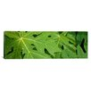 iCanvas Panoramic Raindrops on Papaya Tree Leaves, La Digue, Seychelles Photographic Print on Canvas