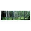 <strong>iCanvasArt</strong> Panoramic White Birches Aulanko National Park Finland Photographic Print on Canvas