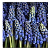 "Grape Hyacinth by Aiana, Canvas Art - 24"" x 24"""