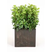 Silk Pittosporum in Box