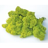 Preserved Reindeer Moss