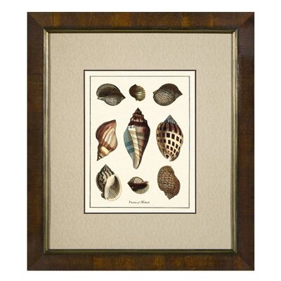Phoenix Galleries Varieties of Mollusk Framed Print