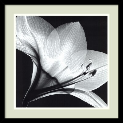 Amanti Art 'Amaryllis 1' by Steven N. Meyers Framed Photographic Print