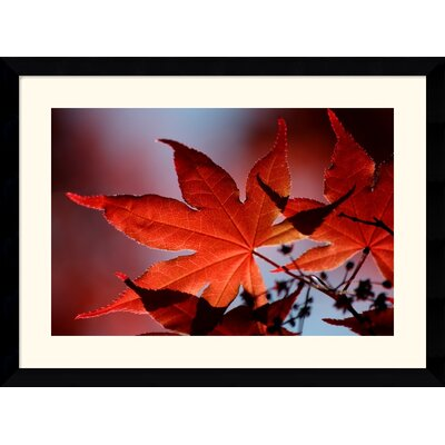 Red Maple by Andy Magee Framed Fine Art Print - 28.62