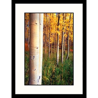 Great American Picture Aspen Trees, Telluride, Colorado Framed Photograph