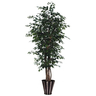 Blue Ridge Fir Round Executive Ficus Tree in Pot
