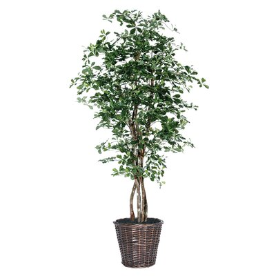Vickerman Co. Blue Ridge Fir Executive Olive Tree in Basket