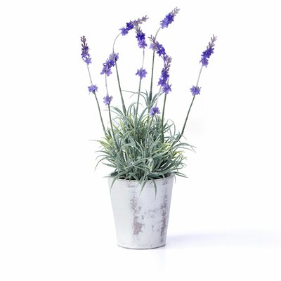 "Sage & Co. Potted Lavender Plant in 5"" Pot"