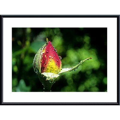 Rose Bud Metal by John K. Nakata Framed Photographic Print