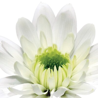 Deco Glass White Daisy Cup Wall Decor