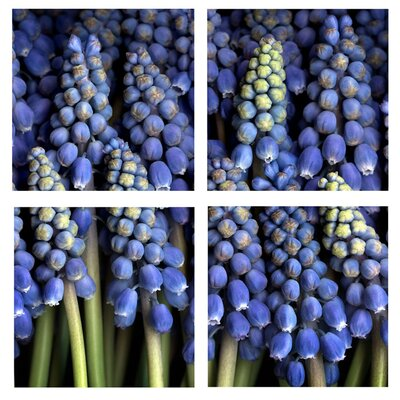 Trademark Global Grape Hyacinth by Aiana Canvas Art (Set of 4)