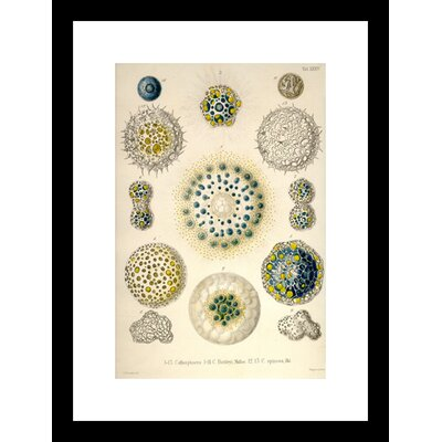 Amoeboid Protozoan's Framed Graphic Art