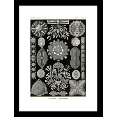 Diatoms Framed Graphic Art