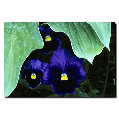 "Trademark Fine Art Peeking Pansies by Kurt Shaffer, Canvas Art - 24"" x 32"""