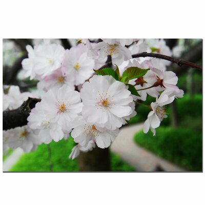 "Trademark Fine Art Cherry Blossom by Kurt Shaffer, Canvas Art - 16"" x 24"""
