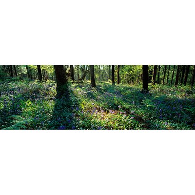 iCanvasArt Panoramic Bluebells Growing in a Forest, Exe Valley, Devon, England Photographic Print on Canvas