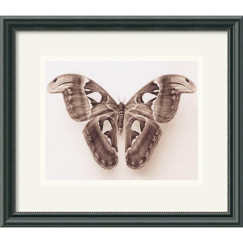 'Attacus Atlas' by Raquel Edwards Framed Photographic Print