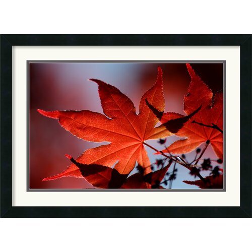 'Red Maple' by Andy Magee Framed Photographic Print