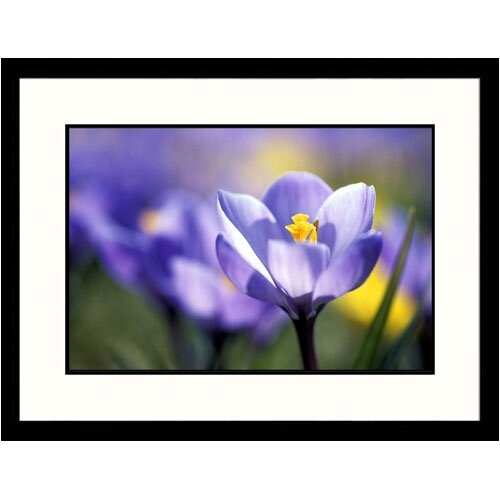 Great American Picture Florals Purple Crocus Framed Photographic Print