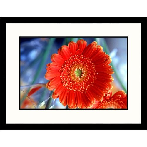 Great American Picture Florals Gerber Daisy Framed Photographic Print