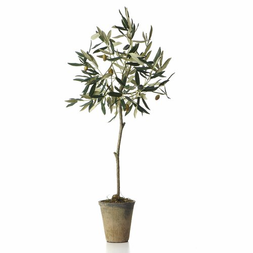 Potted Olive Tree in Pot
