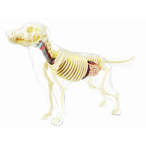 4D Full Skeleton Dog Model