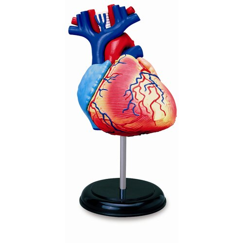 4D Human Anatomy - Heart Model