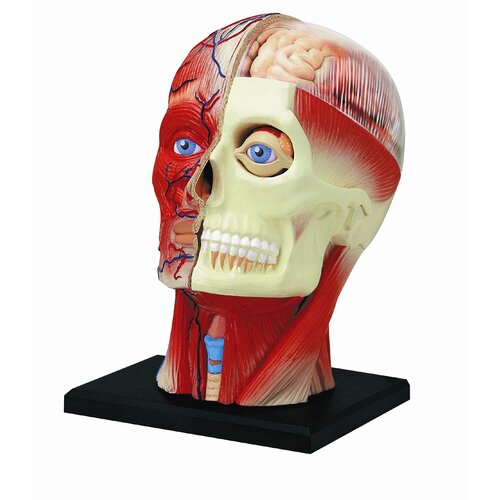 Tedco Toys 4D Human Anatomy - Human Head Model