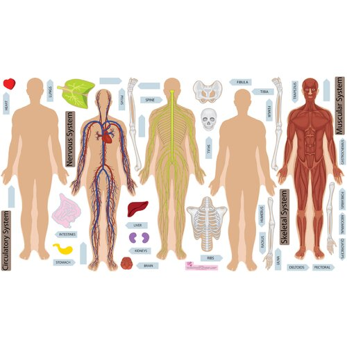Mona Melisa Designs Peel and Learn Human Body Wall Decal