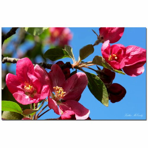'Apple Blossoms' by Kathie McCurdy Photographic Print on Canvas