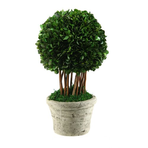 D & W Silks Preserved Boxwood Ball Topiary in Planter