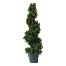 Cedar Spiral Round Tapered Topiary in Pot