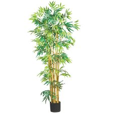 Bambusa Bamboo Tree in Pot