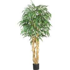 Weeping Ficus Tree in Pot