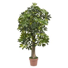 Schefflera Tree in Pot