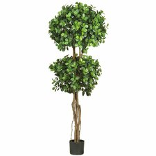 Eucalyptus Double Ball Round Topiary in Pot