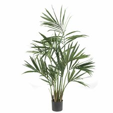 Kentia Palm Tree in Pot