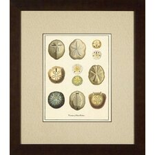 <strong>Phoenix Galleries</strong> Varieties of Sand Dollars Giclee Print